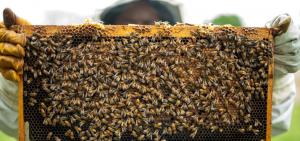 publicar imagen ¿Qué pasaría si las abejas se extinguieran ¿Por qué las abejas son tan importantes para la vida 300x141 - ¿Qué pasaría si las abejas se extinguieran?