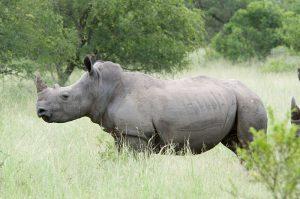 Rinoceronte blanco 300x199 - Las ocho especies más amenazadas del mundo