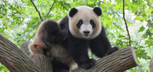 oso panda 520x245 - Las ocho especies más amenazadas del mundo