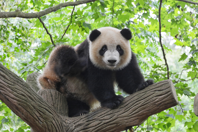 oso panda - Las ocho especies más amenazadas del mundo