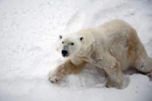 oso polar 300x200 - Las ocho especies más amenazadas del mundo